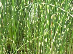 Zebrabinse Teichpflanzen Teichpflanze