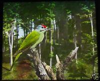 Glass Magic Lantern Slide BIRDS OF EUROPE NO83 C1910 ORNITHOLOGY PHOTO