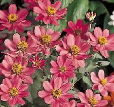 Zinnia Profusion Coral Pink Annual Seeds