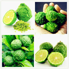 30Pcs Thai Kaffir Lime Tree Seeds Organic Fresh Citrus Fruit Tree In Your Garden
