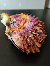 ORANGE SPONDYLUS LIMBATUS SPINY OYSTER SHELL- SEA OF CORTEZ- BEAUTIFUL COLORS