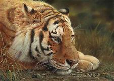 "Denis MAYER Siberian Tiger LTD Giclee Canvas LTD art "" Beauty at Rest"""