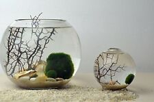 Marimo small  Ball 3-4cm Live plant