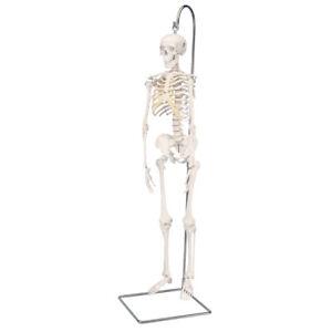"3B Scientific Mini-Skelett ""Shorty"" auf Hängestativ (A18/1)"