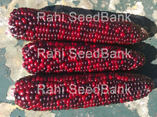 Corn Beauty King - A Beautiful Red-Chocolate Colored Corn Variety - 5 Seeds!!!