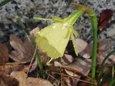 Daffodil, Narcissus bulbocodium subsp. citrinus  seeds