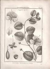 1791 Antique Botanical B/W print Caper bush from Lamarck's Tableau Methodique