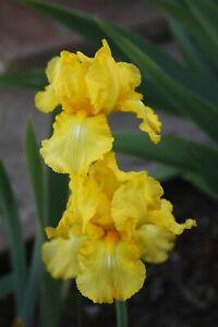 ~CORN HARVEST~ Lovely lemon yellow reblooming tall bearded iris rhizome rhizomes