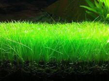 Dwarf Hairgrass E parvula 16 Clumps Live Aquarium Plants sale + 2 amazon swords