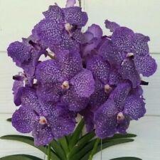 Orchidee Vanda V. Wirat x Gordon Dillon
