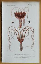 Orbigny Dictionnaire Original Print Octopus Squid - 1849