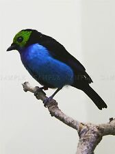 ANIMAL BIRD BLUE TANAGER COOL FEATHER LARGE POSTER ART PRINT BB2931A