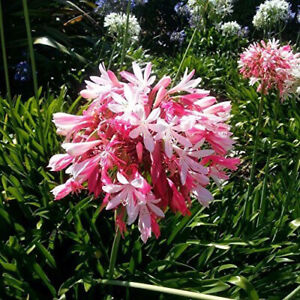 Pink Agapanthus     /10 Seeds/   African Lily