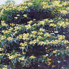 NATIVE FRANGIPANI SEEDS HYMENOSPORUM FLAVUM FLOWERING TREE 40 SEED PACK