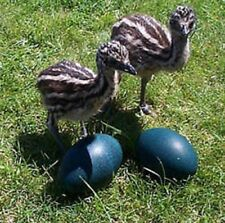 2 Fresh Emu Eggs for Hatching from Proven Breeders
