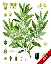 EUROPEAN BLACK OLIVE PLANT FRUIT TREE ILLUSTRATION PAINTING ART CANVAS PRINT
