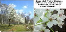 Bradford Pear White Flowering Ornamental Tree 10 + Seeds