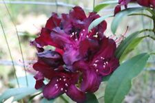 Rhododendron Marie Fortie - #2 Container Plant -  Purple Blooms - Hardy to 0 F