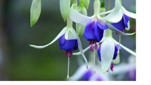 5 X  FUCHSIA MIXED VARIETIES SPRING OFFER  PLUG PLANTS FREE POSTAGE READY NOW