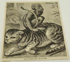 1884 magazine engraving ~ LEILA'S MORNING RIDE - monkey riding a cat