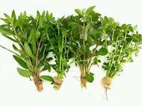 PLANTA DE ACUARIO: LOTE DE 4 PLANTAS PROCERPINACA.BACOPA.LUDWIGIA envío gratis