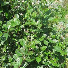 NEPAL ALDER (Alnus Nepalensis) 50+EXTRA seeds (#427)