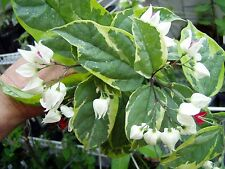 Clerodendrum thomsoniae | Variegated White Bleeding Heart Vine | Quart Plant