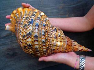 Muschel Schnecke ᴓ 36 CHARONIA CHARONIA TRITONIS NODIFERA Meeresschnecke fantast