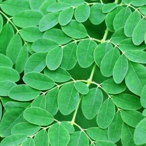 Full Grown Moringa 'Oleifera' Potted Plant  Edible Leaves Plant Tree