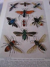 Antique 1929 Murayama Wasps / Bees / Velvet Ants Chromolithograph Print