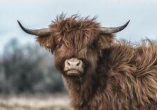 Highland Mucca sciarpa di mucca Sciarpa Di Cotone per gli amanti delle Highland Mucca Sciarpa