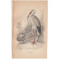 Jardine/Lizars antique hand-colored engraving bird print Pl 7 White Stork