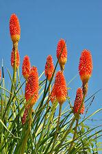 die Blüten der Fackellilie sind eine farbiges Feuerwerk und ungewöhnlich schön.