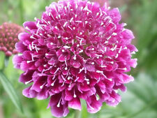 50 SCABIOSA PIN CUSHION Mourning Bride Flower Seeds