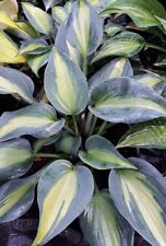 Hosta - Catherine - New Introduction - Shade Loving Perennial