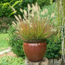 Dwarf Fountain Grass 'Burgundy Bunny' - Size: 1 Gallon - Live Potted Plants -