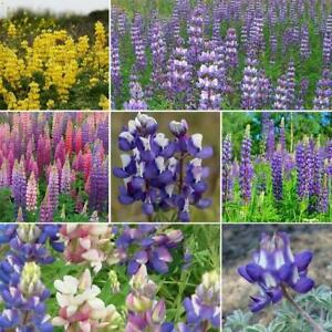 LOOPY Lupine Mix Fall Planting Hummingbirds Annual Perennial Non-GMO 50 Seeds