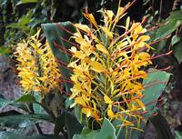 Schmettelings-Ingwer Blütenstände in gelb mit roten verbreiten einen süssen Duft