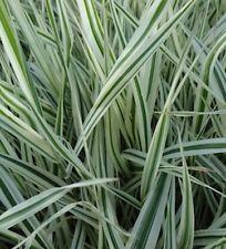 Phalaris arundinacea 'Picta'/ Ribbon Grass/ Ornamental Grass/ Plant/ CANADA