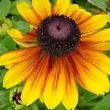 30+ Rudbeckia ToTo Gold Dwaf / Perennial Flower Seeds