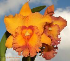 Cattleya Blc. orchid Shinfong Luohyang 'Tian Mu'