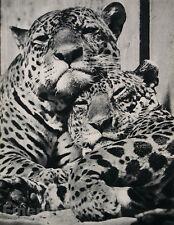 1935 Vintage Print LEOPARD COUPLE Animal Cats Germany 16x20 Art ~ JULIUS ARNFELD