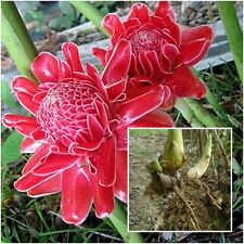 Etlingera elatior 1 Rhizome Red Torch Ginger Flower ''Daeng'&# 039; Plant Tropical