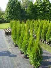 Strauchpflanzen mit Lebensbaum-Pflanzen Ausgewachsene Smaragd