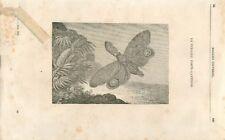 Fulgore porte-lanterne Fulgora famille des punaises insecte  GRAVURE 1839