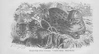 Tüpfelkatze Hechtkatze Felis viverrina Holzstich von 1891 Raubkatzen Wildkatzen