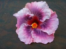 *Tahitian Star Queen Nebula* Rooted Tropical Hibiscus Plant*Ships In Pot*