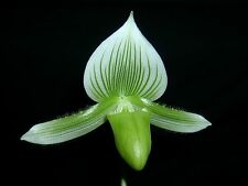 In bud now! Lovely green and white striped ladyslipper orchid