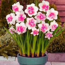 400x Charm Mixed Daffodil Seeds Spring Flower Double Narcissus Bulbs Seed DECOR