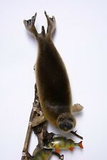 Taxidermy Baikal seal or Nerpa with perches Stuffed mount Mammal Pusa sibirica